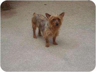 Yorkie, Yorkshire Terrier Dog for adoption in New Milford, Connecticut - Milee