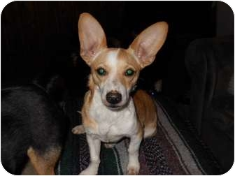 Chihuahua/Corgi Mix Dog for adoption in Harrisonburg, Virginia - Radar