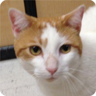 Turkish Van Cat for adoption in Weatherford, Texas - Paul
