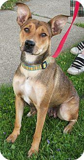 Doberman Pinscher/German Shepherd Dog Mix Dog for adoption in Struthers, Ohio - Margo