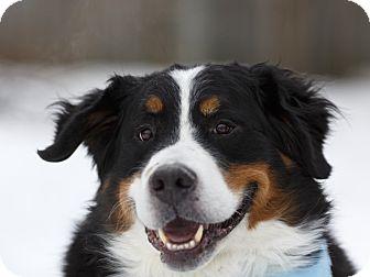Bernese Mountain Dog Dog for adoption in Ile-Perrot, Quebec - Romeo
