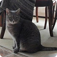 Domestic Shorthair Cat for adoption in Cambridge, Ontario - Flower