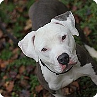 Adopt A Pet :: Peony - Reisterstown, MD