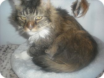 Domestic Longhair Cat for adoption in Granby, Colorado - Saber