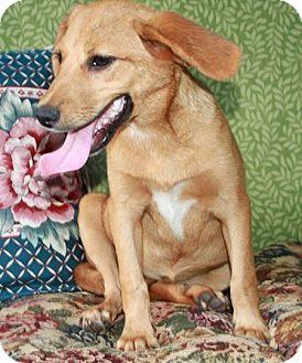Feist/Hound (Unknown Type) Mix Dog for adoption in LEXINGTON, Kentucky - DANCER