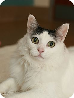 Turkish Van Cat for adoption in Coronado, California - Lady Bird