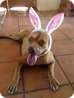American Staffordshire Terrier/Staffordshire Bull Terrier Mix Dog for adoption in Edmonton, Alberta - Chocolata
