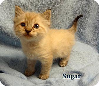 Himalayan Kitten for adoption in Bentonville, Arkansas - Sugar