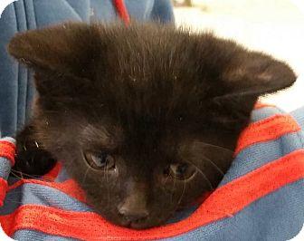 Domestic Shorthair Kitten for adoption in Adrian, Michigan - Bianca