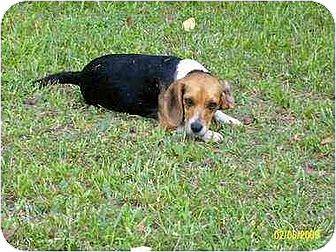 Beagle Dog for adoption in Rutherfordton, North Carolina - Teal