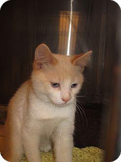 Siamese Kitten for adoption in Pueblo West, Colorado - Dustin