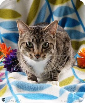 American Bobtail Cat for adoption in Dundee, Michigan - Opi