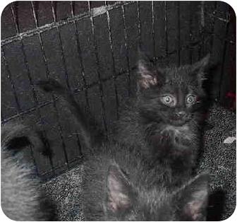 Domestic Shorthair Kitten for adoption in Ortonville, Michigan - Litter of 5