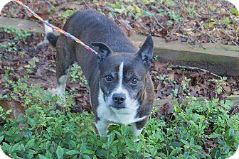 Boston Terrier/Corgi Mix Dog for adoption in Newark, Delaware - Cliff