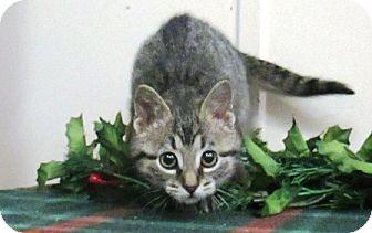 Domestic Shorthair Kitten for adoption in Lloydminster, Alberta - Jerry