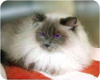 Ragdoll Cat for adoption in San Clemente, California - ELLA