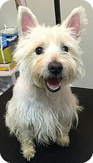 Westie, West Highland White Terrier Dog for adoption in Frisco, Texas - ROMO-ADOPTED