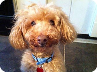 Poodle (Miniature) Mix Dog for adoption in Wilmington, Delaware - Benny