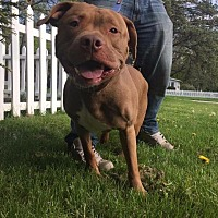 Pit Bull Terrier Dog for adoption in Berea, Ohio - Chino