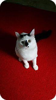 Domestic Longhair Cat for adoption in Edmond, Oklahoma - Allegro