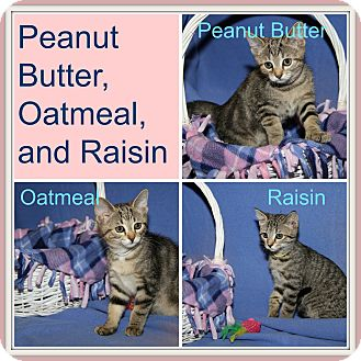 Domestic Shorthair Kitten for adoption in Marietta, Ohio - Peanut Butter/Oatmeal/Raisin