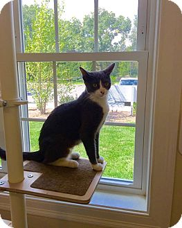 Domestic Shorthair Cat for adoption in Peace Dale, Rhode Island - Maci