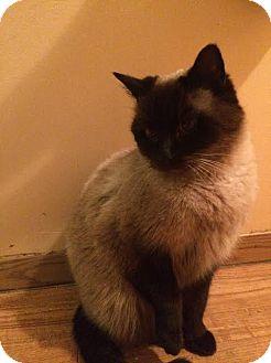 Siamese Cat for adoption in Okotoks, Alberta - Dingle