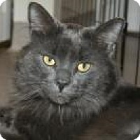 Domestic Longhair Cat for adoption in Manchester, Connecticut - Archer