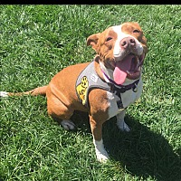 American Pit Bull Terrier Mix Dog for adoption in Concord, California - Leah
