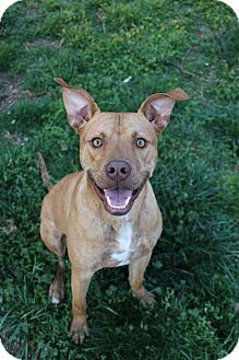 Pit Bull Terrier Mix Dog for adoption in Springfield, Missouri - Danny Boy (SPONSORED)
