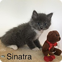 Adopt A Pet :: Sinatra - Naugatuck, CT