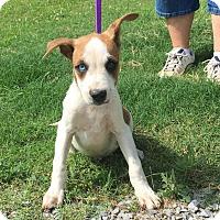 Adopt A Pet :: George - Washington, DC