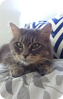 Domestic Longhair Cat for adoption in Charlotte, North Carolina - A..  Talli