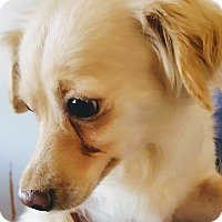 Adopt A Pet :: Sasha - Yelm, WA