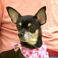 Adopt A Pet :: Bella Marie - Evansville, IN