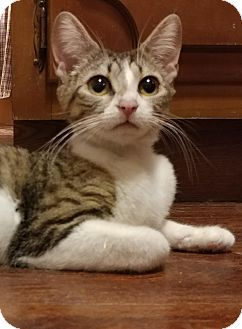 Domestic Shorthair Kitten for adoption in Scottsdale, Arizona - Cassie