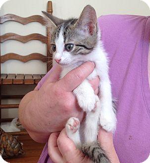 Domestic Shorthair Kitten for adoption in Chattanooga, Tennessee - Neptunus