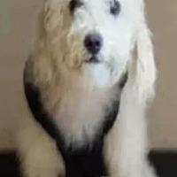 Adopt A Pet :: Bella Poodle - McKinney, TX