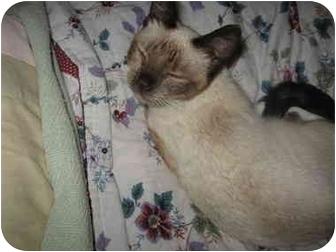 Siamese Cat for adoption in Farmington, Michigan - Emmy: Blue Eyed Seal Point