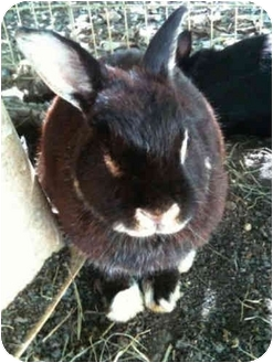 Netherland Dwarf Mix for adoption in Lewisville, Texas - Gemma