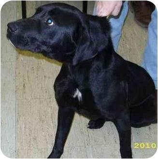 Labrador Retriever Mix Dog for adoption in Mt. Vernon, Illinois - King