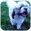 Photo 3 - Shih Tzu Dog for adoption in Meridian, Idaho - Robert