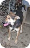 Rottweiler/German Shepherd Dog Mix Dog for adoption in latrobe, Pennsylvania - Minnie