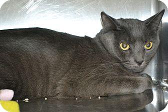 Russian Blue Cat for adoption in Elyria, Ohio - Smokey