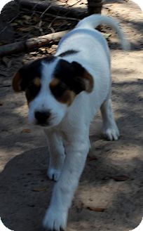 English Springer Spaniel Mix Puppy for adoption in Silsbee, Texas - Frieda