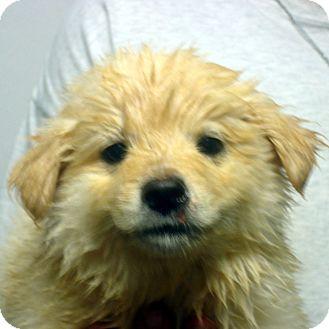 Golden Retriever/Labrador Retriever Mix Puppy for adoption in Greencastle, North Carolina - Venus