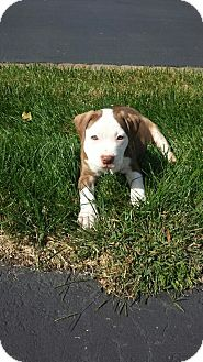 American Bulldog/Pit Bull Terrier Mix Puppy for adoption in Medford, New Jersey - Daisy Mae