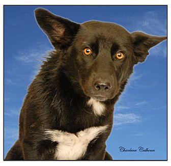 Beagle/Labrador Retriever Mix Dog for adoption in Newland, North Carolina - Bristol