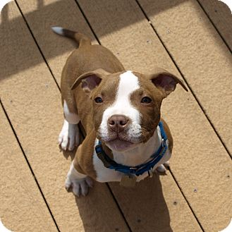 American Pit Bull Terrier Mix Puppy for adoption in Columbia, Illinois - Valentino