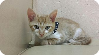 Domestic Shorthair Kitten for adoption in Coral Springs, Florida - Panic